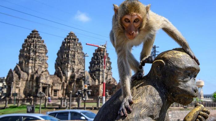 Affen kapern ganze Stadt:   Primaten wegen Corona außer Kontrolle –     Video