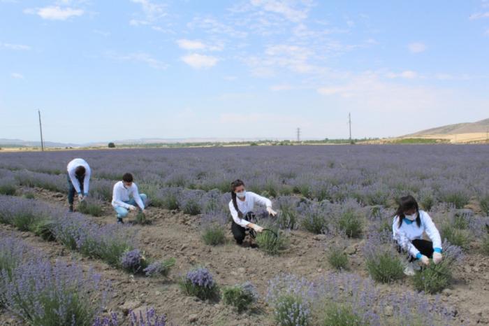 Gabala en Azerbaiyán fue el primer lugar para cultivar lavanda