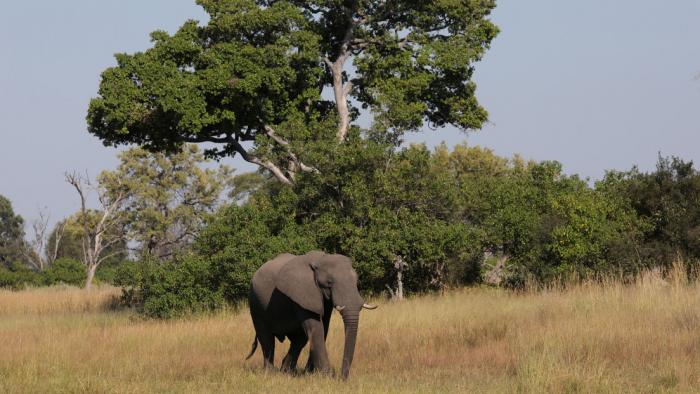 Más de 350 elefantes mueren en Botswana y nadie sabe por qué