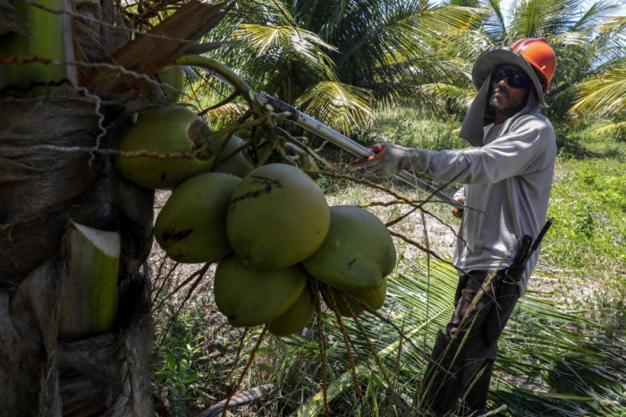 Why coconut oil may be worse than palm oil for the environment