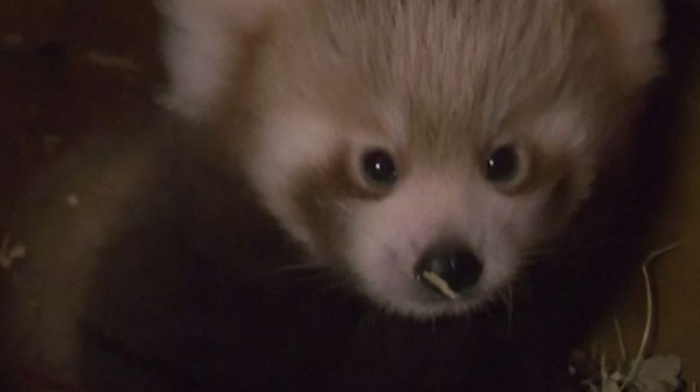 Rare red panda born in Berlinfor the first time -   NO COMMENT