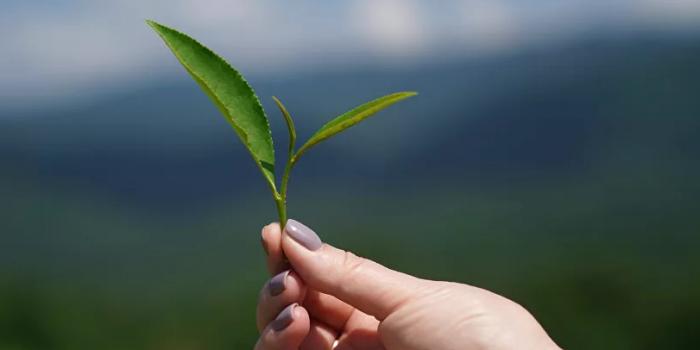 أحدها يعكس الطبيعة الأساسية للشاي... 5 فوائد سحرية لزيت الشجرة