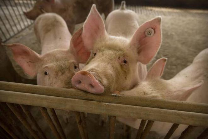 Is swine flu really going to be the next pandemic? -   iWONDER