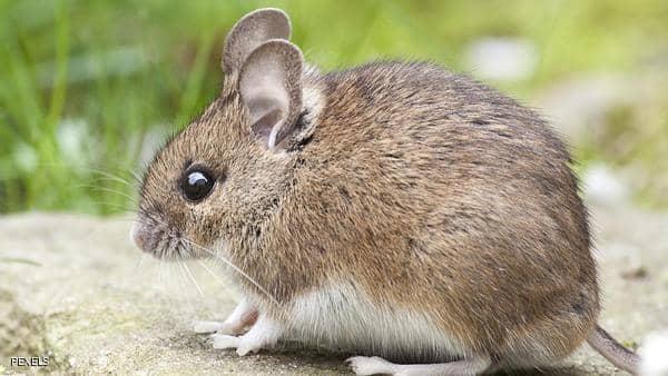 والمحاصيل في خطر بسببالفئران في المانيا