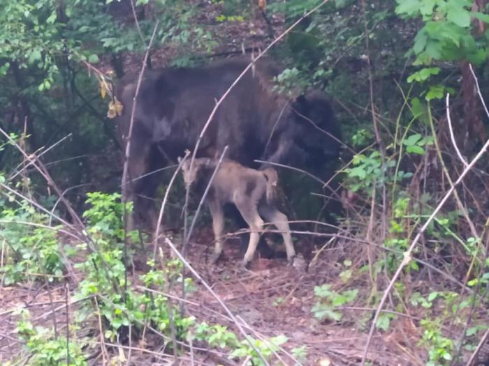 Şahdağ Milli Parkında üçüncü zubr balası dünyaya gəlib