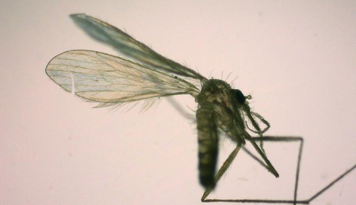 Sandmücken überträgen gefährliche Krankheiten