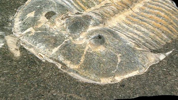 Das 429 Millionen Jahre alte Fossil mit dem 200-Pixel-Blick