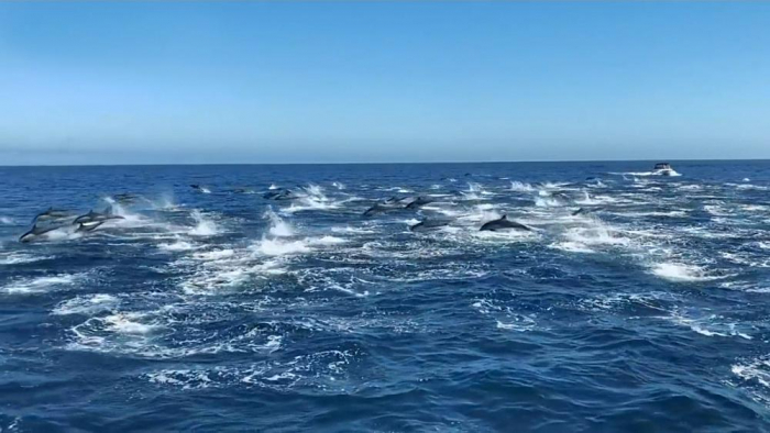 Hundreds of dolphins