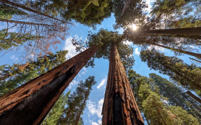 Séquoia, l