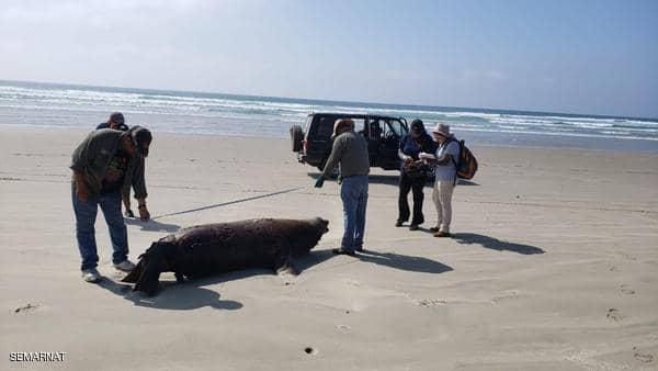 السلطات المكسيكية تحققغموض يلف مقتل 137 أسد بحر