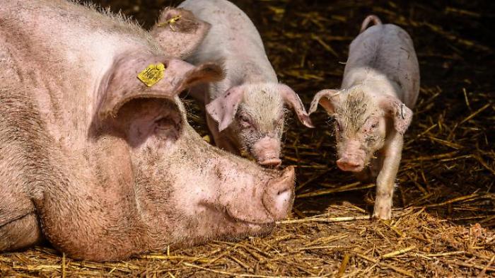 Hausschwein-Infektion wäre fatal