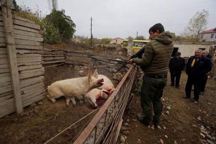 Armenia continues barbaric acts in Lachin, killing animals