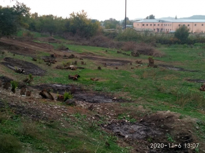 Armenians destroyed thousand-year-old trees on liberated Azerbaijani lands