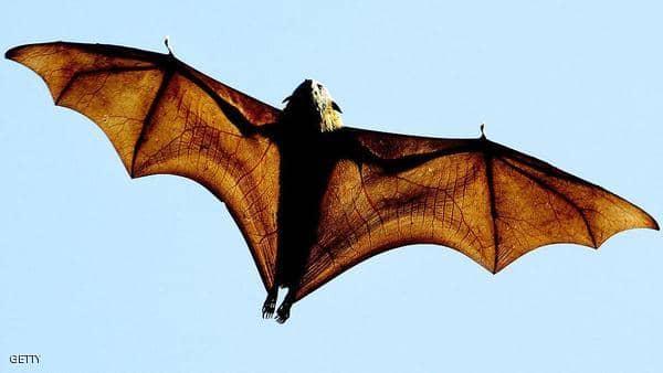 المرأة الخفاش تحذر: فيروسات أخرى من أسرة كورونا قد تنتقل لنا