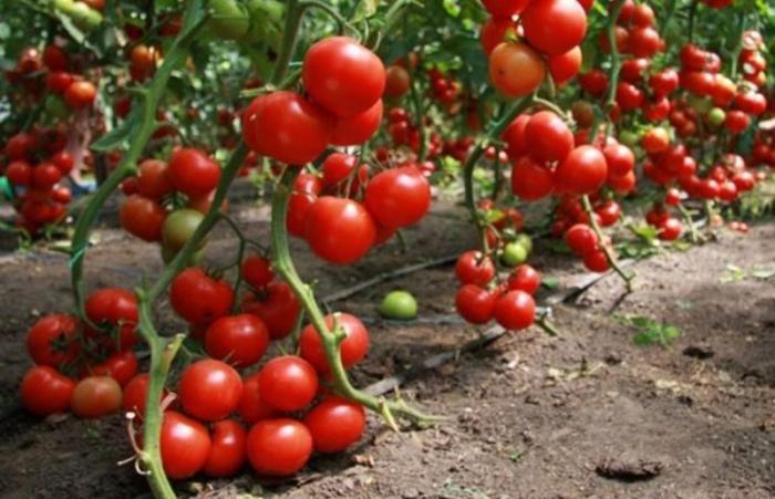 Daha 13 müəssisə Rusiyaya pomidor və alma ixrac edəcək