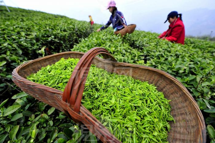 L'Azerbaïdjan a importé 14 000 mille tonnes de thé en 2020
