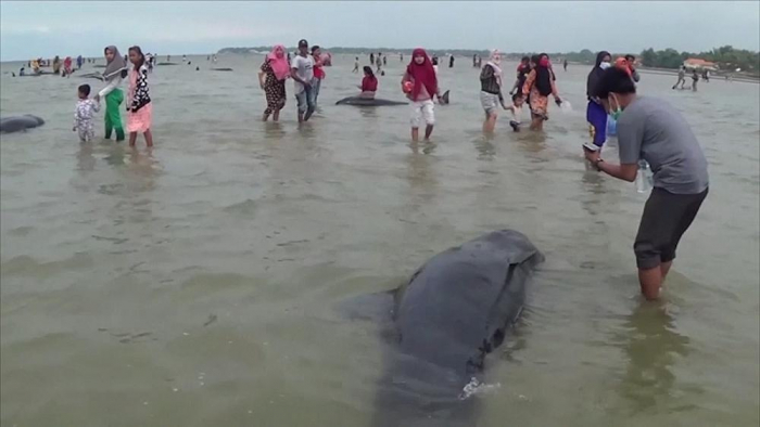 Only 3 out of 45 whales survive after stranding in Java -  NO COMMENT