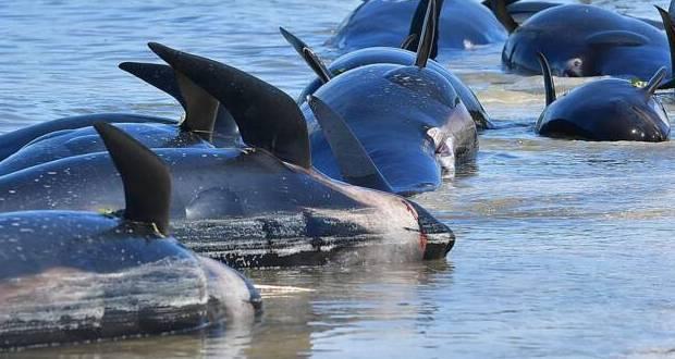 Nouvelle-Zélande: des dizaines de «dauphins-pilotes» échoués
