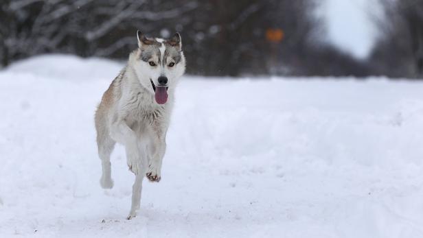 Les chiens ont sans doute accompagné les premiers humains à fouler le sol du continent nord-américain