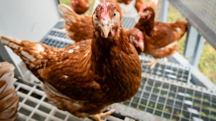 Erstmals Übertragung von Vogelgrippe-Virus H5N8 auf Menschen nachgewiesen