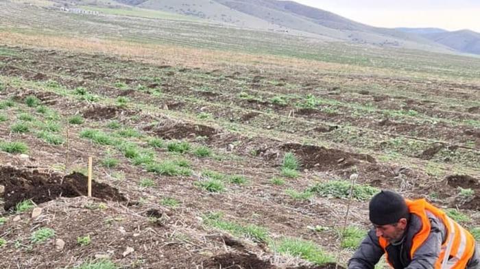 Los primeros almendros ecológicos de Almería llegan a Bakú con Crisara