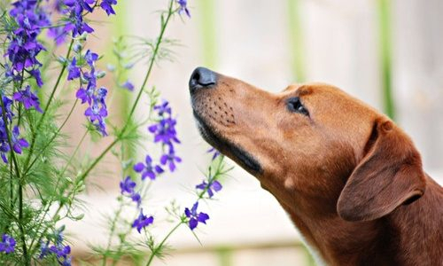 Trained dogs can detect COVID-19 with surprising accuracy by sniffing your pee
