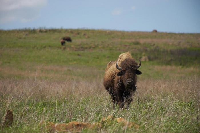 Plus de 45.000 personnes se sont portées volontaires pour tuer 12 bisonsdans un parc naturel américain