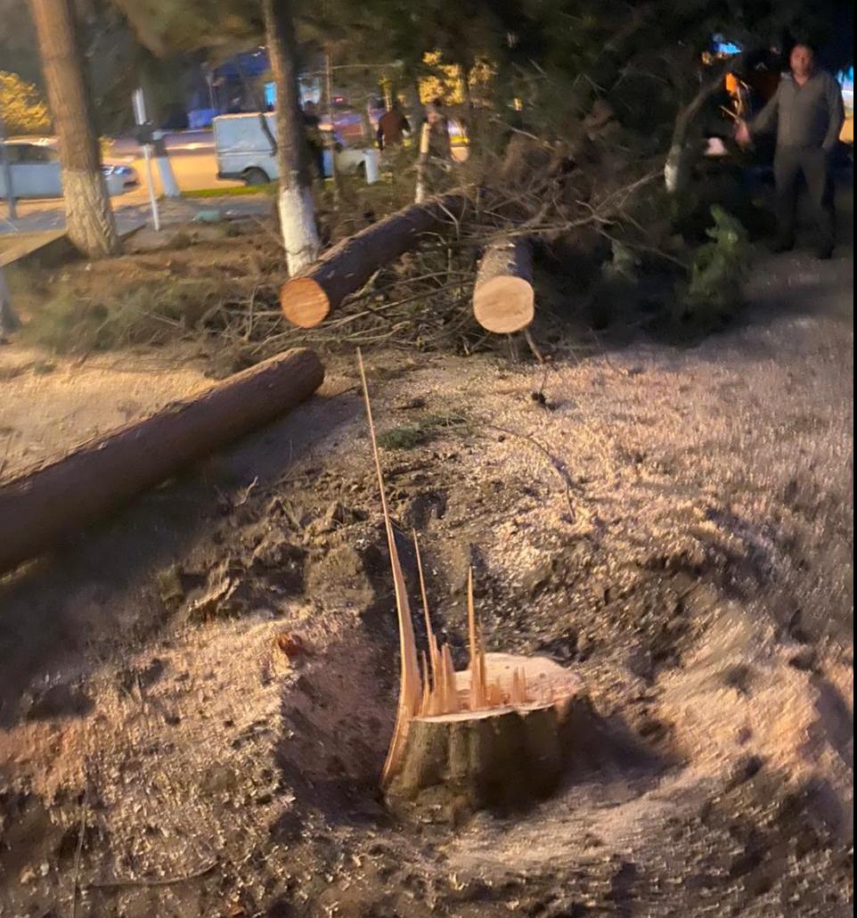 Sumqayıtda qanunsuz ağac kəsən şəxs cəzalandırıldı