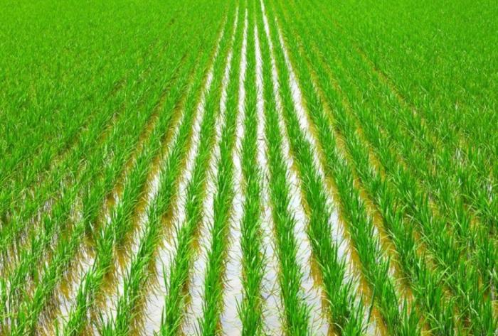 Azerbaiyán anuncia la tarifa del seguro para los campos de arroz
