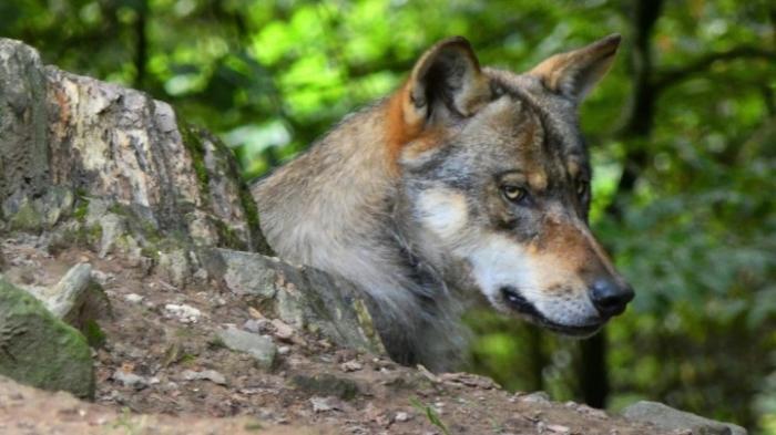 """Wölfin """"Gloria"""" darf nicht getötet werden"""