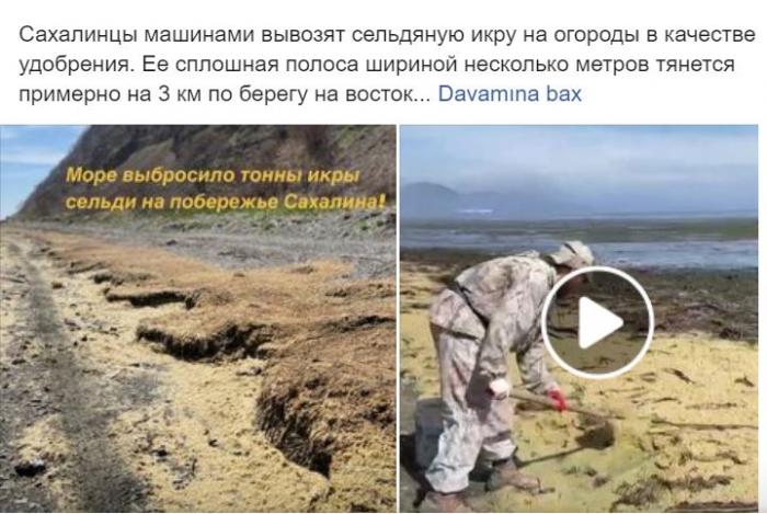 Saxalin adasında tonlarla balıq kürüsü sahilə çıxıb