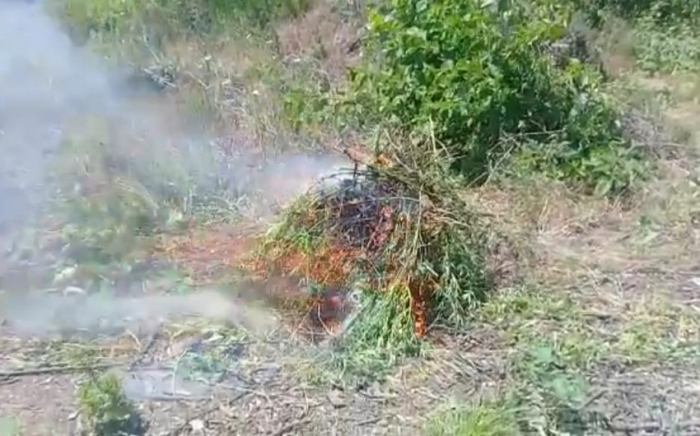 Wild-drug containing plantsfound in liberated territories