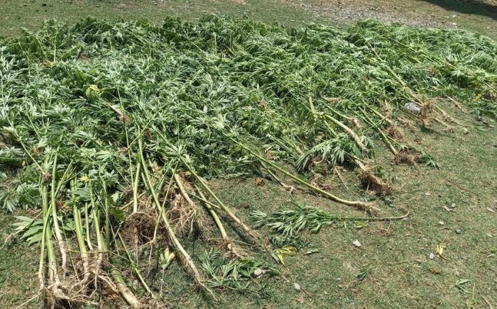 Zəngilanda narkotik tərkibli bitkilər aşkarlanıb