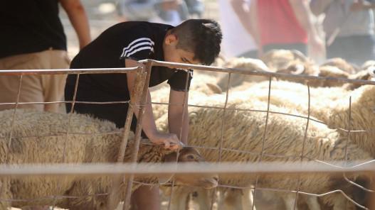 الأحكام والشروط الواجبة في أضحية العيد