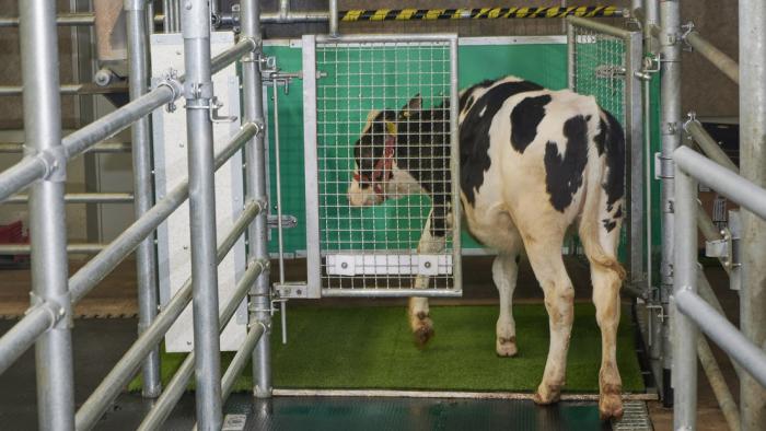¿Vacas que orinan como gatas?: en Alemania enseñan al ganado a