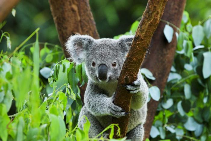 Koalalar son üç ildə 30% azalıb