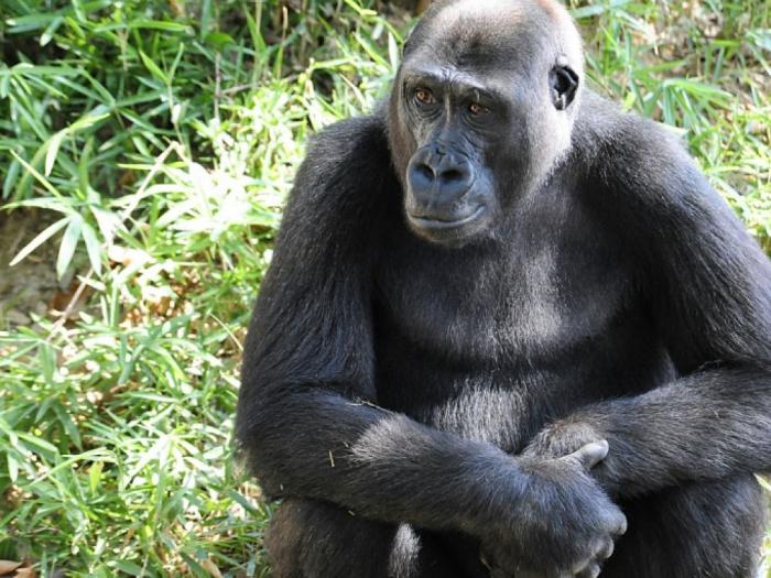 Des gorilles du zoo positifs au coronavirus dans une ville américaine