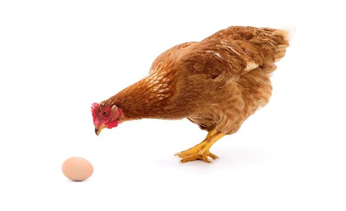 Əvvəl toyuq yaranıb, yoxsa yumurta? –    Elmi Cavab