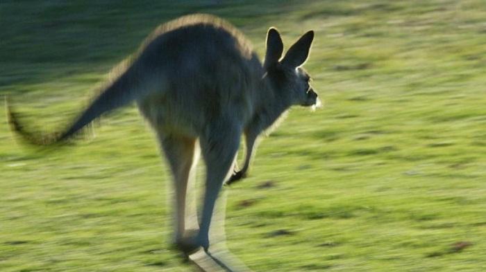 Autsralie : un kangourou romp les implants mammaires d`une cycliste