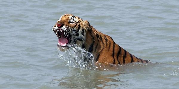 Etats-Unis : un tigre tue une gardienne de zoo en Floride