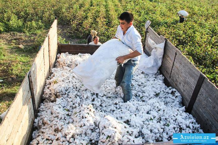 Ölkədə 173 min tona yaxın pambıq yığılıb