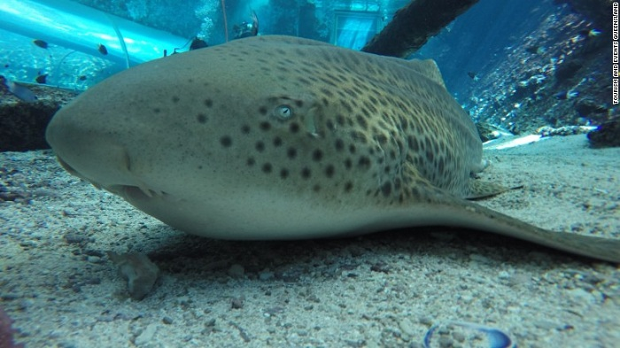 Zebra shark surprises scientists by giving birth without male