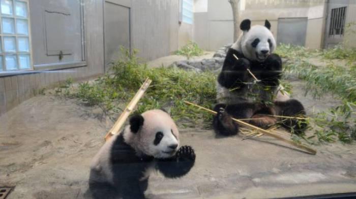 Bébé panda. Comment les Chinois choisissent-ils les noms ?