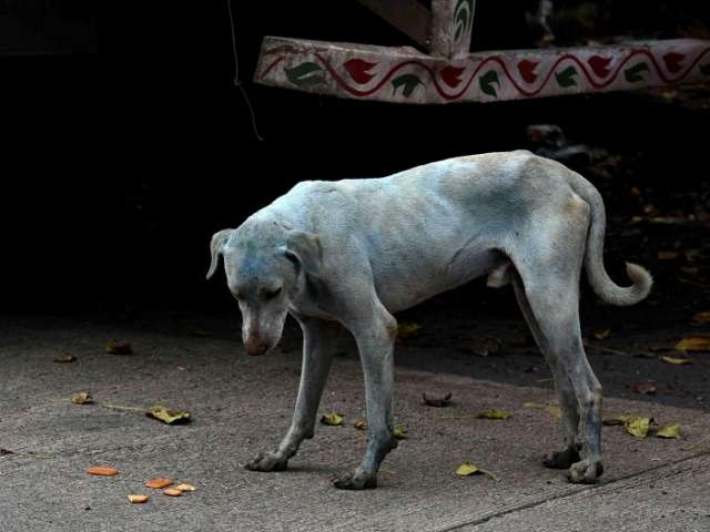Mystery of the 'blue dogs of Mumbai' solved