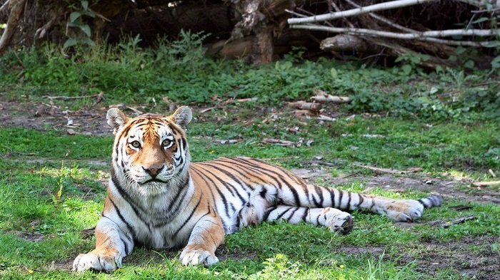 Tiger kills Zurich zookeeper in front of visitors and staff