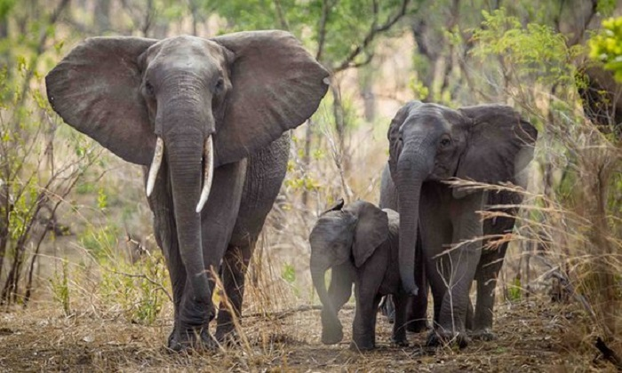 Mass elephant relocation could save populations in parts of Africa