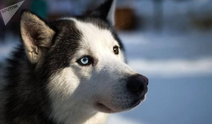 Alerta por husky siberiano a raíz de la serie 'Game of Thrones'