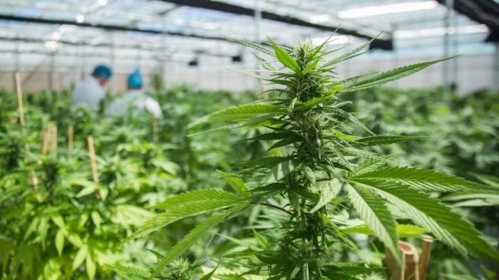 Uruguays Apotheken verkaufen Cannabis