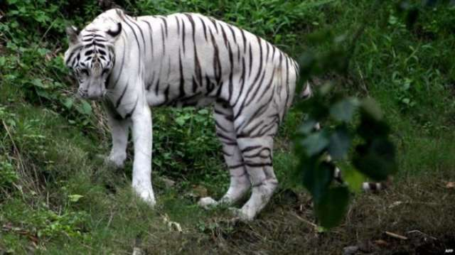 India national park: White tigers kill keeper