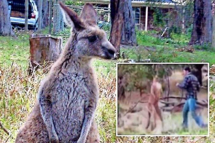 Australie: Deux ados envisageaient un attentat au kangourou piégé